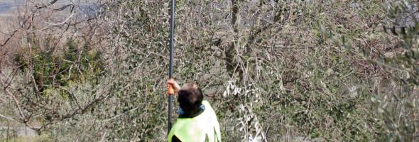 Primo campionato interegionale Toscano-ligure di potatura professionale dell'olivo a vaso policonico